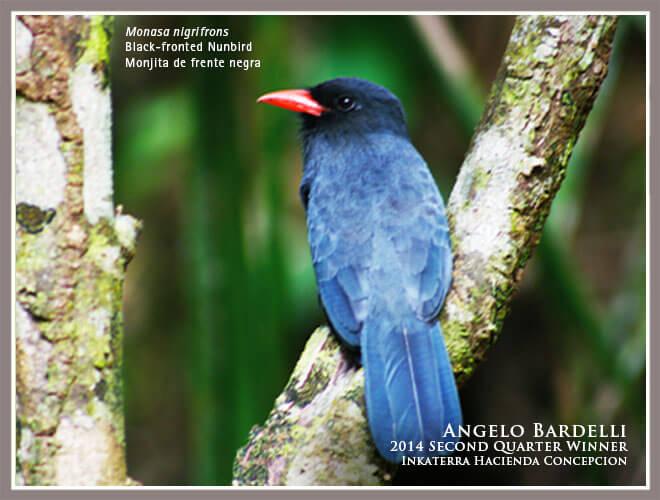 Black-fronted Nunbird-Angelo Bardelli